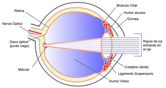 Anatomía y funcionamiento del ojo