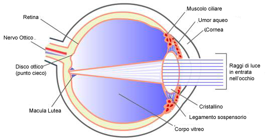 eyeball cross section