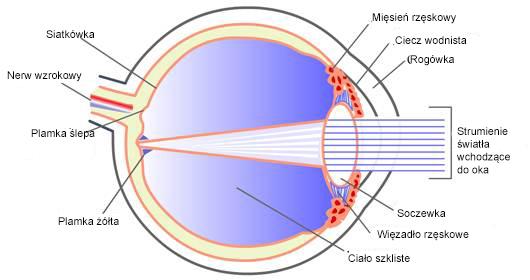 struktury oka